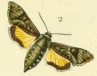 Pl.09-fig.02-Microsphinx pumilum (Boisduval, 1875).JPG