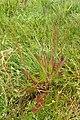 Plantago australis kz3.jpg