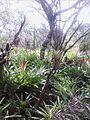 Plants in Cardoso Island, Cananéia - Brazil.jpg