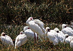 Platalea alba -Lake Nakuru National Park, Kenya -several-8.jpg