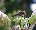 Platycheirus albimanus - Flickr - gailhampshire (5).jpg