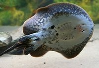 Plesiotrygon iwamae underside (Buffalo Zoo)