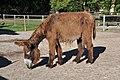 Poitou Donkey 2863.jpg