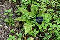 Polystichum polyblepharum - RHS Garden Harlow Carr - North Yorkshire, England - DSC01174.jpg