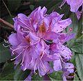 Pontische rododendron bloemen (Rhododendron ponticum).jpg