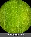 Potamogeton natans sl24.jpg