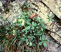 Potentilla caulescens 1.jpg