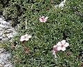 Potentilla nitida 060707.jpg