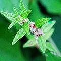 Pouzolzia zeylanica, Graceful Pouzolz's Bush 2.jpg