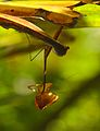 Praying mantis eating captured butterfly 01.jpg