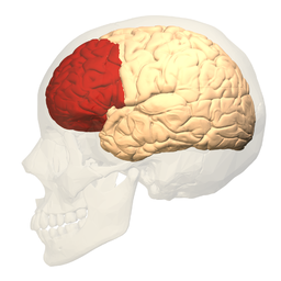 Prefrontal cortex (left) - lateral view