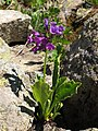Primula latifolia RF.jpg