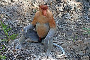 Proboscis monkey - Male, Labuk Bay, Sabah, Borneo, Malaysia
