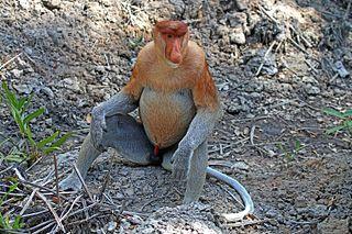 Proboscis monkey Primate species