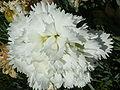 Prostanthera cuneata (Labiatae) flower.JPG