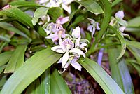 Prosthechea fragrans.jpg