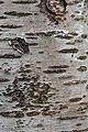 Prunus cerasus Montmorency tree bark 11.jpg