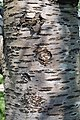 Prunus cerasus Montmorency tree bark 18.jpg