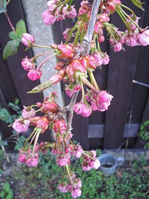 Prunus serrulata - Image: Prunus serrulata 1