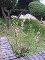 Prunus triloba var. truncata 03.JPG