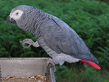 Psittacus erithacus -perching on tray-8d.jpg