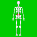 Psoas major muscle05.png