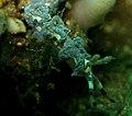 Pteraeolidia ianthina005.jpg