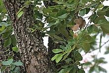 220px-Pterocarpus_santalinus_in_Talakona_forest%2C_AP_W_IMG_8099.jpg