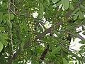 Pterocarya stenoptera3.jpg