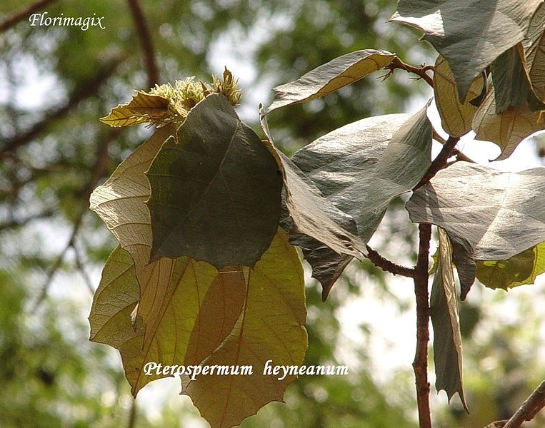 File:Pterospermum heyneanum Wall. syn for P.xylocarpum (Gaertn.) - a beautiful forest tree from the deciduous forests of Indian Eastern and Western ghats. 05.jpg