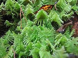 Moss (Ptilium crista-castrensis) cover on the floor of taiga