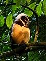 Pulsatrix perspicillata -Manizales, Caldas, Colombia-8 (2).jpg