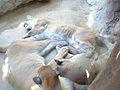 Pumas sleeping Rio Grande Zoo.jpg
