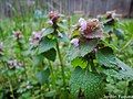 Purple DeathNettle March 26, 2018.jpg