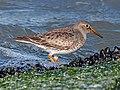 Purple Sandpiper - Calidris maritima, Delaware Seashore State Park, Rehoboth Beach, Delaware (24937759677).jpg