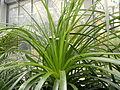 Puya mirabilis (3).JPG