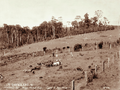 Queensland State Archives 2382 Dixons farm pigs and calves MalenyBlackall Range c 1899.png