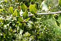 Quercus coccifera kz6.jpg