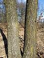 Quercus petraea (s. lat.) sl15.jpg