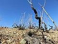 Quincié-en-Beaujolais - Vue rapprochée d'une parcelle de vigne (mars 2019).jpg