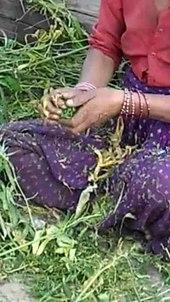 File:Récolte de la résine de cannabis, Uttarakhand, Inde 288x512.ogv