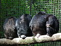 Rückenpartien Schimpansen Leintalzoo 2013.JPG