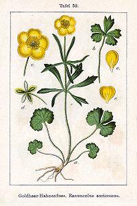 Ranunculus auricomus Sturm52