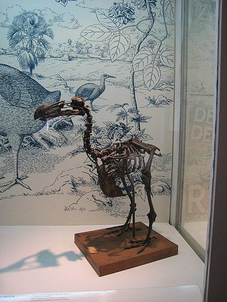 Squelette de Raphus cucullatus au Muséum d'histoire naturelle de La Réunion de Saint-Denis
