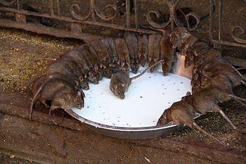 Rats in Karni Mata Temple.jpg