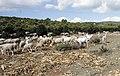 Rebaño de cabras celtibéricas en Castilla-La Mancha.jpg