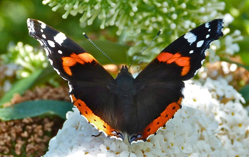 File:Red-admiral-butterfly-dorset-7.jpg