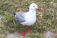 Red-billed Gull.jpg