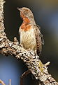 Red-throated Wryneck, Jynx ruficollis at Rietvlei Nature Reserve, Gauteng, South Africa (14564205129).jpg