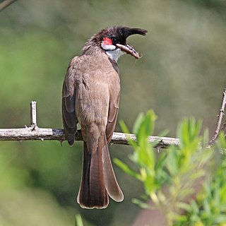 Red-whiskered bulbul (Pycononotus jocosus fuscicaudatus) with grasshopper.jpg